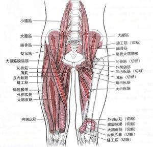 股関節周囲筋群(前面)