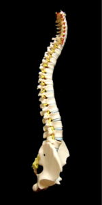脊柱(骨)